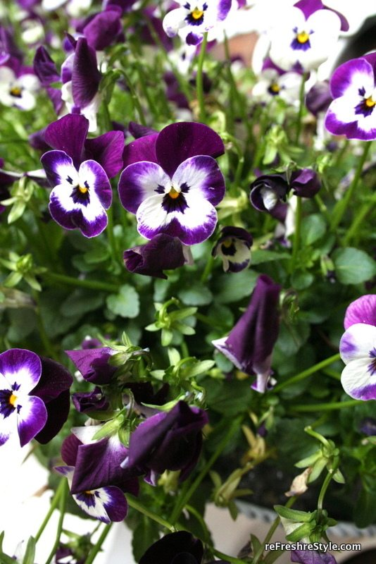 Welcome spring with beautiful pansies