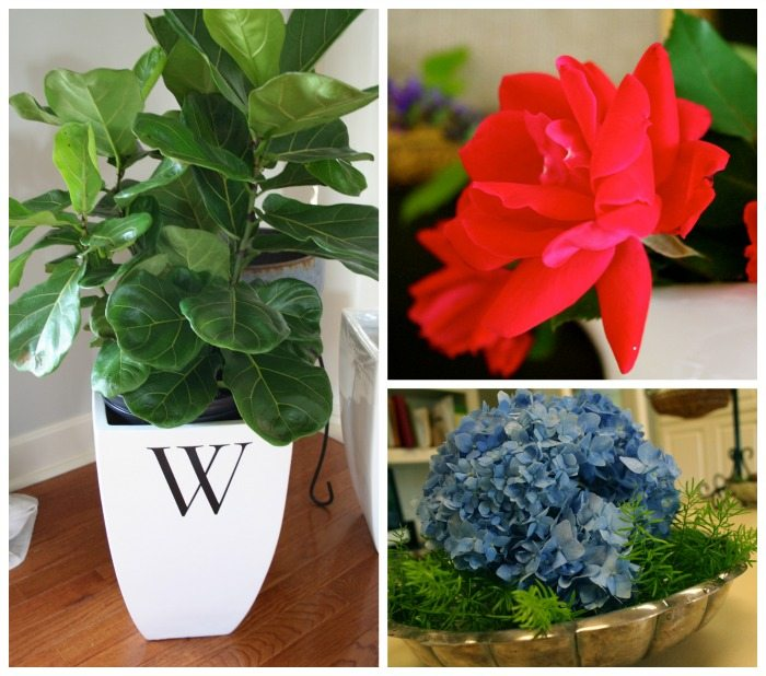 Great Plants - easy to grow Fiddle leaf fig, knockout rose and hydrangea