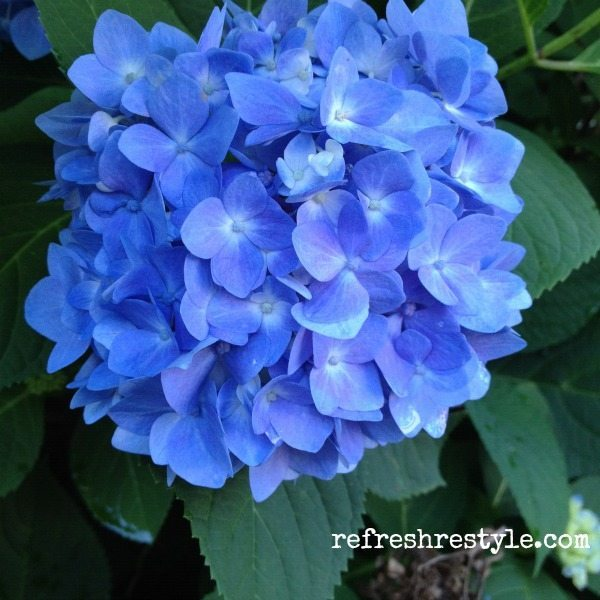 Easy to grow Endless Summer Hydrangea