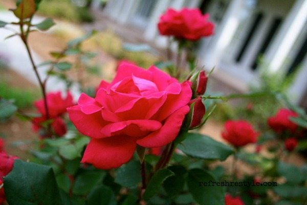 Super easy to grow - knockout rose
