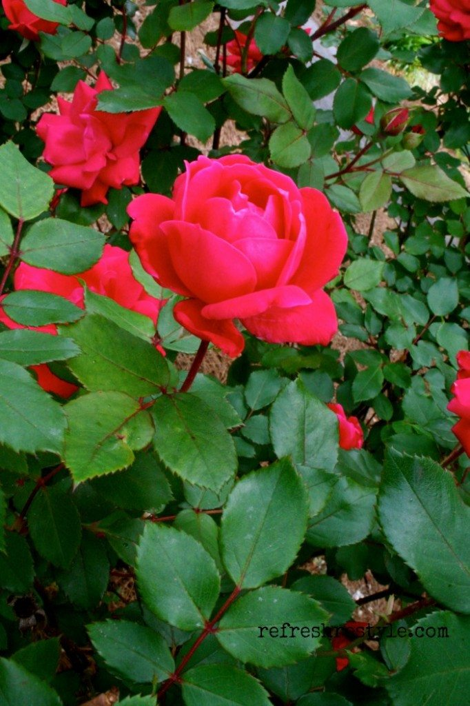 Knockout rose, easy to grow!  You can have cuttings everyday!
