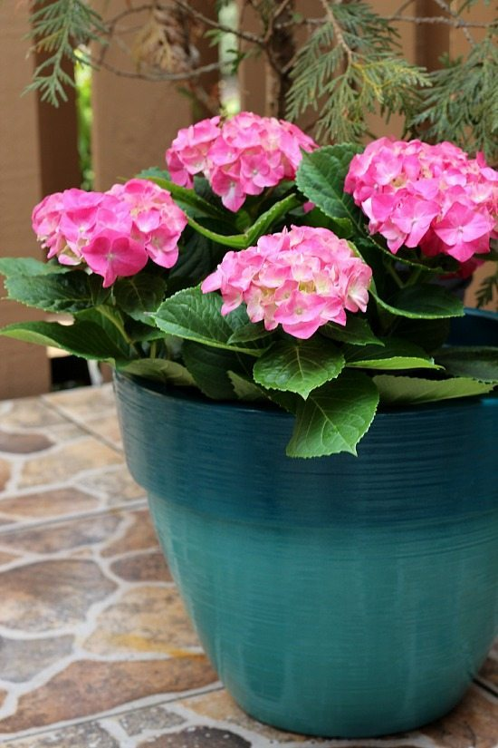 Pink Hydrangeas for the patio