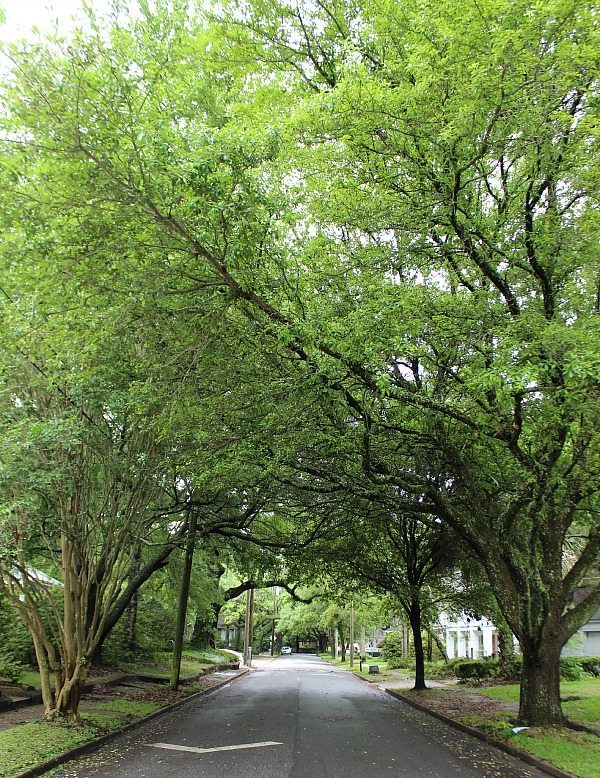 Oak trees spilling over the street in Mobile Al at the Southern Romance Home