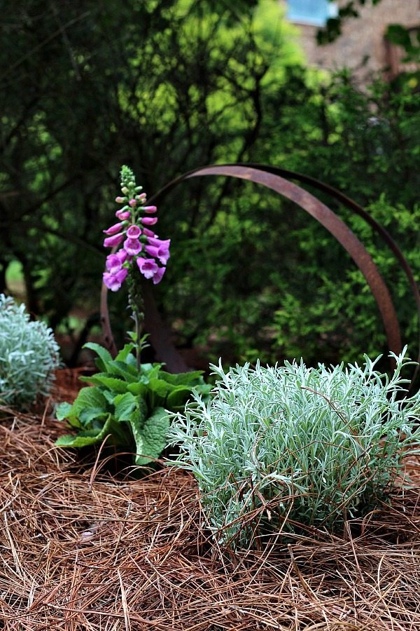 Lavender and Foxglove add colorful blooms in my summer garden