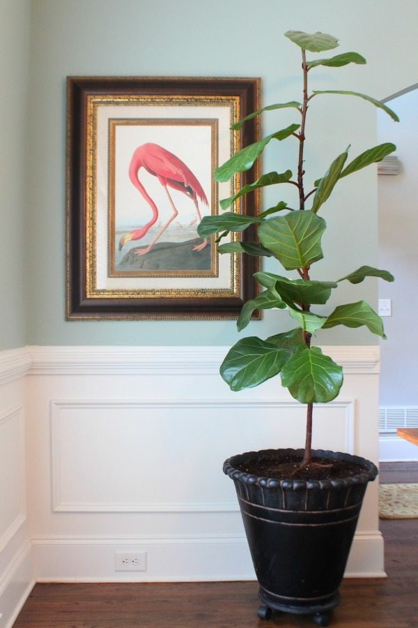 Clean the leaves of your Fiddle Fig Tree with Huggies Wipes
