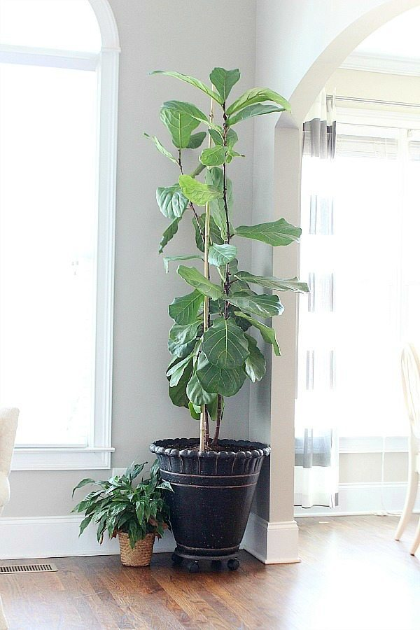 Fiddle Leaf Fig - how to clean the leaves
