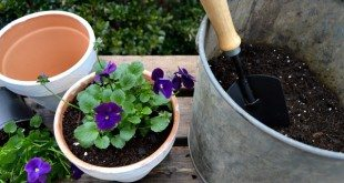 Planting pansies in my aged clay pots, you can age them yourself. Come see how I did it!