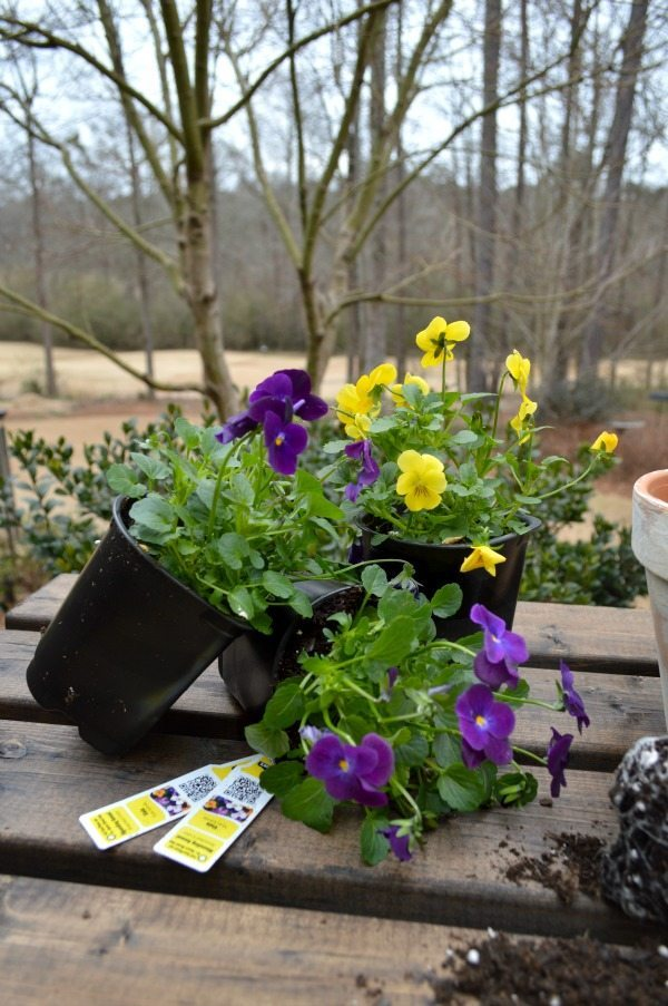 Spring planting pansies in aged clay pots