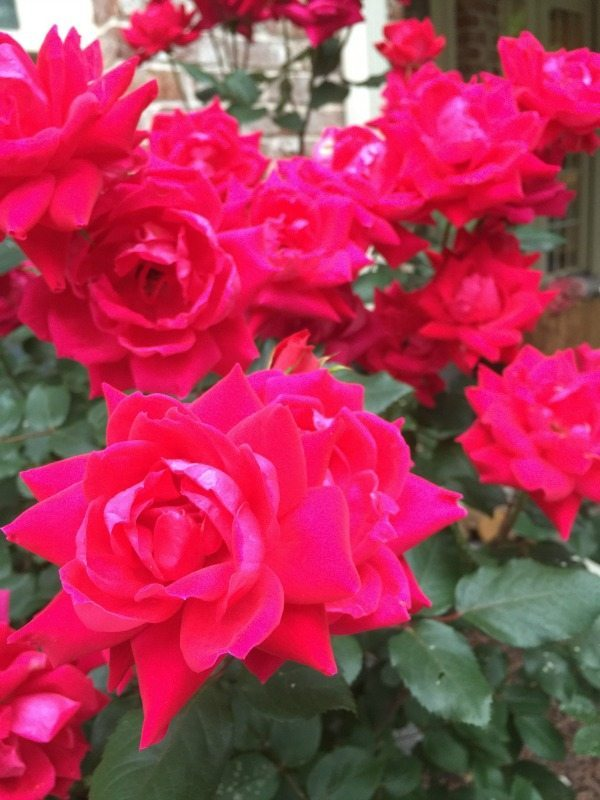 Double knock out rose - Top plants to grow for creating an amazing outdoor space at Refresh Restyle