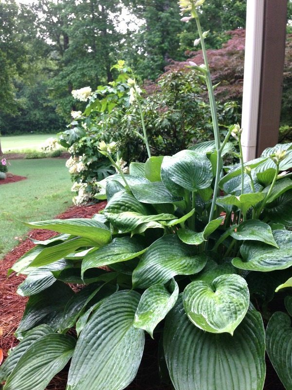 Hostas - Top plants to grow for creating an amazing outdoor space at Refresh Restyle