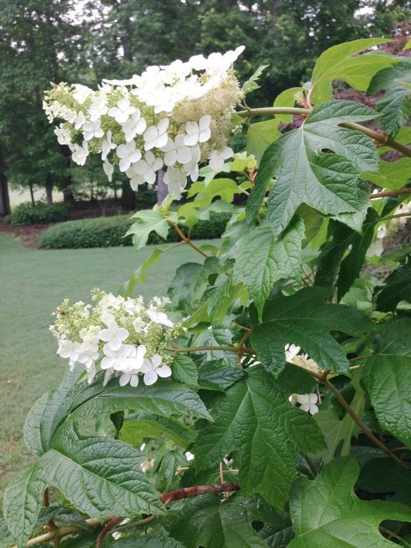 Oakleaf Hydrangea - Top plants to grow for creating an amazing outdoor space at Refresh Restyle