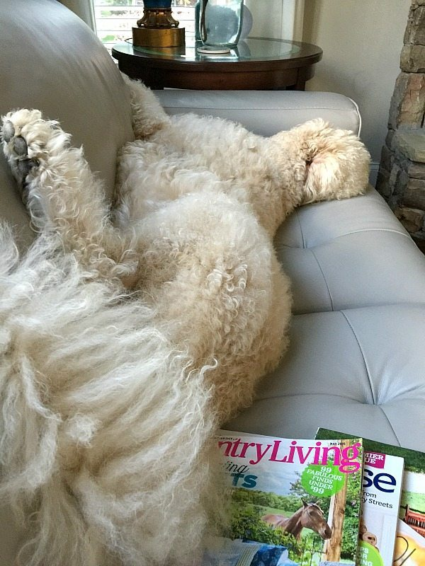 Our labradoodle Murphy - bObi Pet by bObsweep review