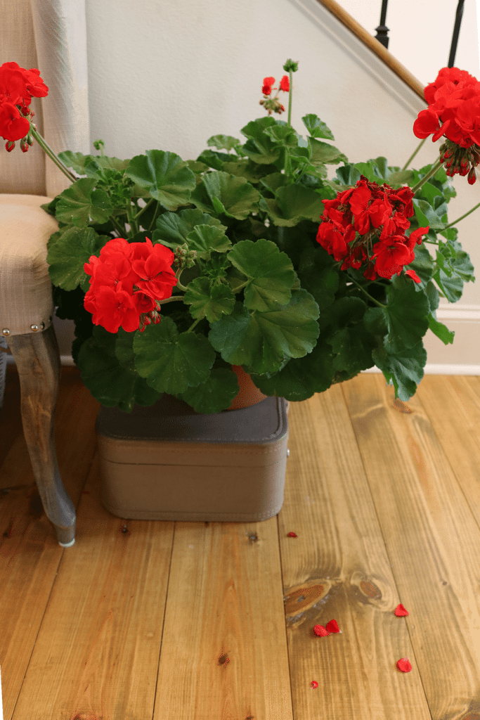 Spring geraniums at Refresh Restyle