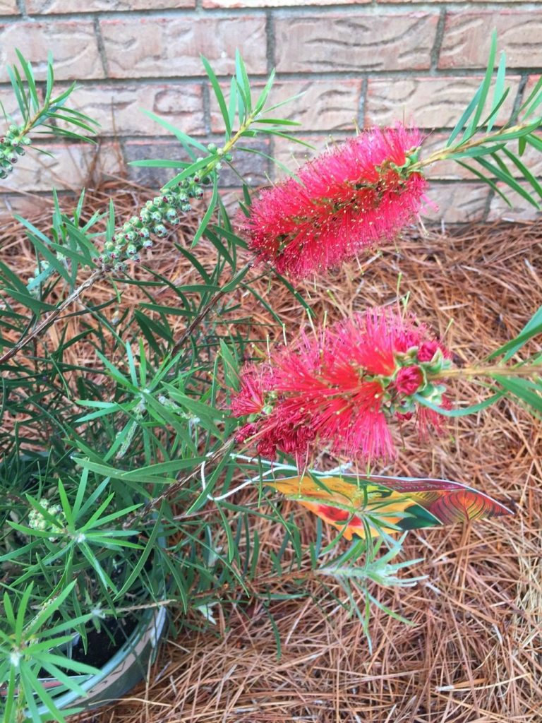 Attract humming birds and add color to your garden
