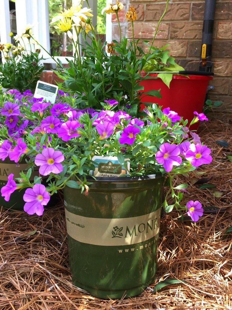 Pretty in purple add Monrovia for healthy color